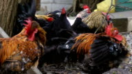 Chickens and rooster altogether on farm video