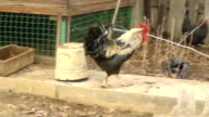 chickens and roosters walk in the yard and chew sunflower seeds video