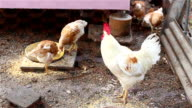 chickens eating in a farm yard video