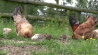 (HD1080i) Chickens Eating video