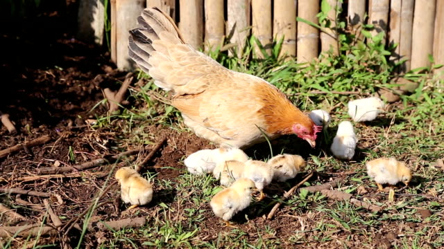 Chickens Eating video