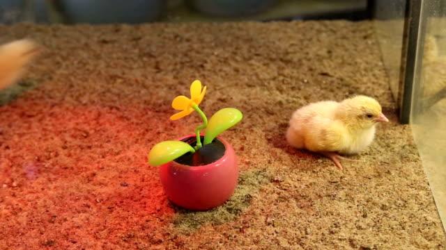 chickens flower video