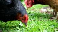 Chickens grazing on grass video