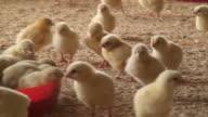 Chickens in a farm video