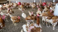 chickens in a poultry farm video