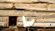 Chickens in a wooden chicken coop video