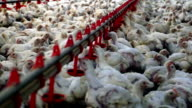 Chickens in chicken farm, poultry production video