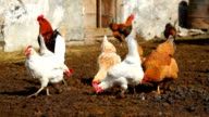 chickens in the courtyard video