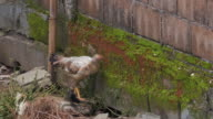 Chickens In The Yard video