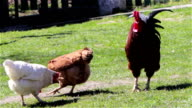 chickens on the grass video