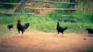 chickens running across grass. video