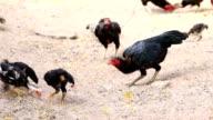 Chickens video