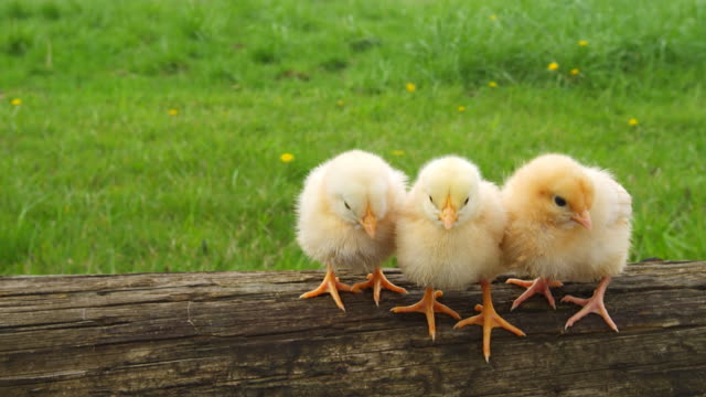 Chicks groom each other. video
