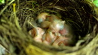 Chicks in a nest video