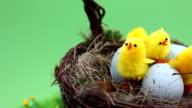 Chicks in nest basket turning loop video