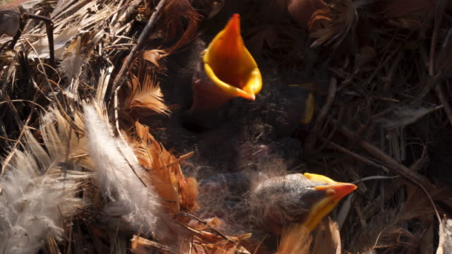 Chicks in the nest video