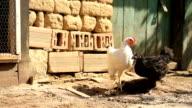 Chicks Running on a Farm Free Range Organic Food HD video