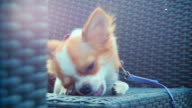 Chihuahua dog enjoy eating video
