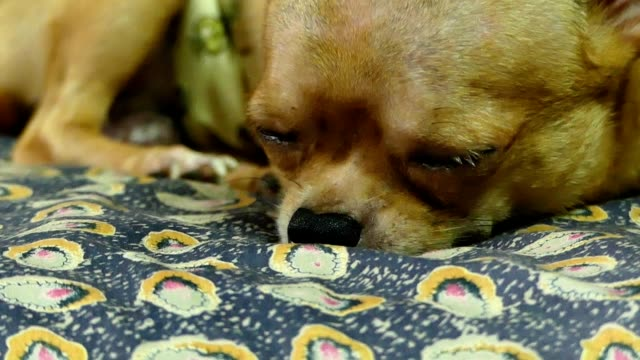 Chihuahua dog video