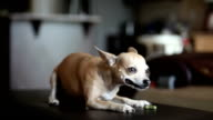 Chihuahua Eating Treat video