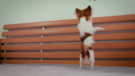 Chihuahua on hind legs video