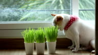 Chihuahua puppy eating wheat grass video