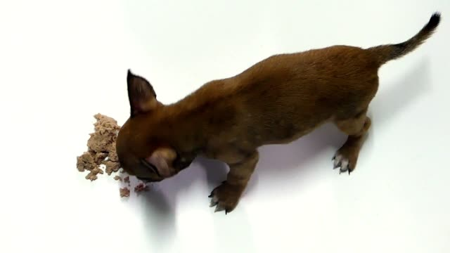 Chihuahua puppy video