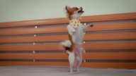 Chihuahua standing on hind legs video