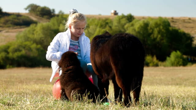 Child Feeding Newfoundland Dogs Outdoor video