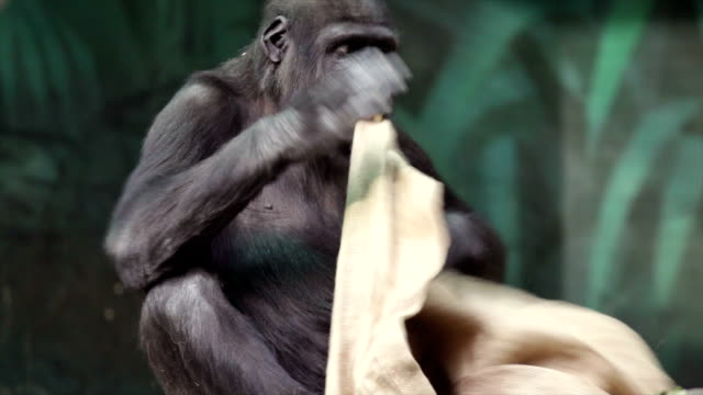 Child game of a gorilla cub with a sackcloth. video