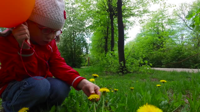 Child girl exploring dandelion flower. The girl plucks petals from a flower dandelion. video