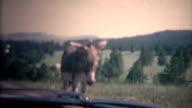 (8mm Vintage) 1966 Child Petting Random Mule From Car Window, Black Hills, USA video