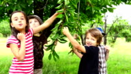Children eating cherries from the tree video