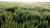 HD SLOW-MOTION: Children Running In Wheat - Stock Video video