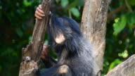 Chimpanzee baby video