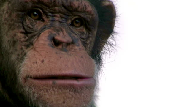 Chimpanzee chewing in front of the camera video