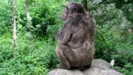 Chimpanzee video