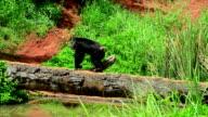 Chimpanzee. video
