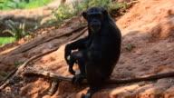 Chimpanzees video