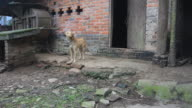 Chinese Dog Barking in Village Scene video