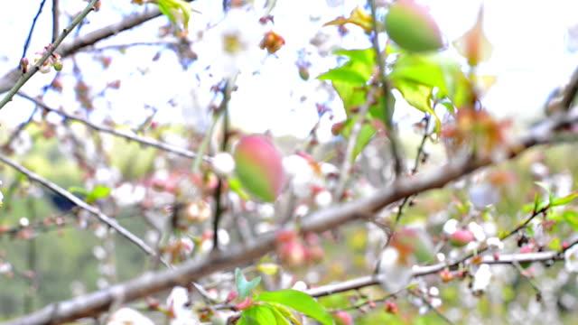 Chinese plum video
