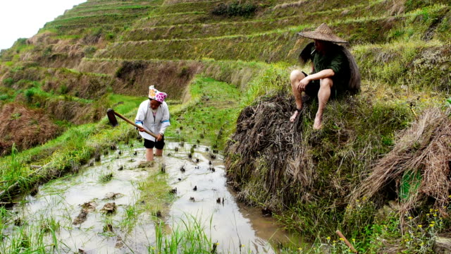 Chinese rice farmers video