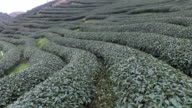 Chinese tea plantations video