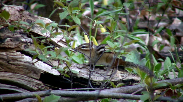 Chipmunk cautiously sits and waits, ready to run  (High Definition) video