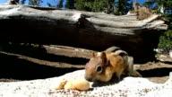 Chipmunk eating a nut video