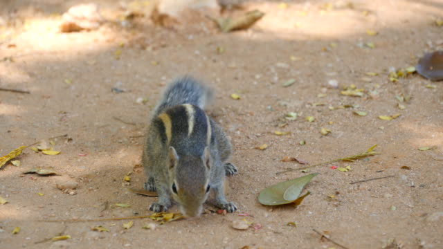 Chipmunk in park eating seeds. Close up video