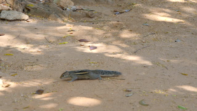 Chipmunk runs in park in search of food. Close up video