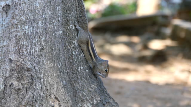 Chipmunk sitting on a tree trunk in the park and eating seeds then runs away. Forest at background. Close up video