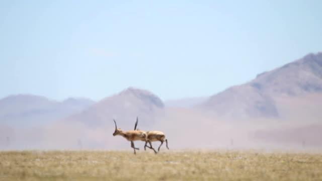 chiru(tibetan antelope) at kokoxili national nature reserve video