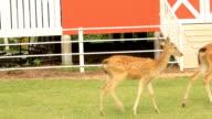 Chital deer video